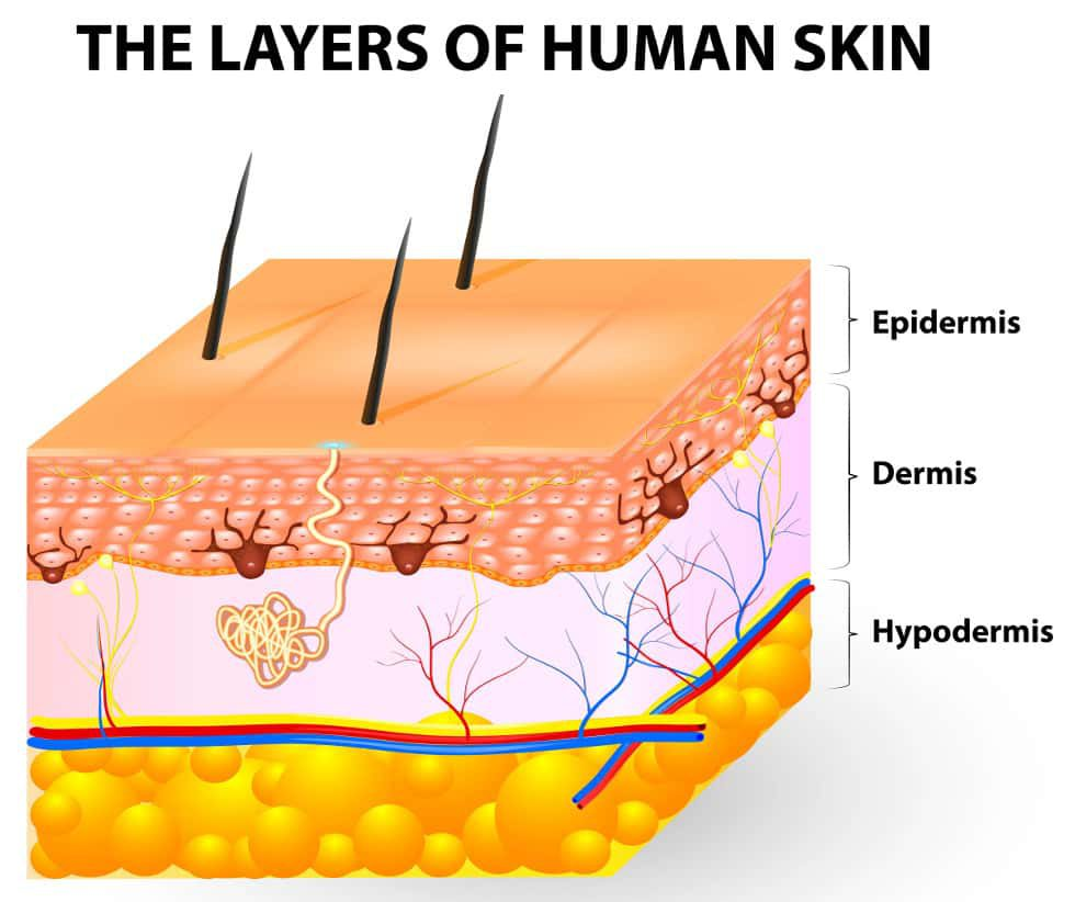 The Layers Of Human Skin Epidermis Dermis Hypodermis Swimfolk